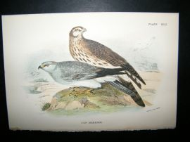 Allen 1890's Antique Bird Print. Hen Harrier